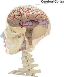 Ubicación de la corteza cerebral. Fuente: Wikimedia Commons.