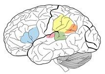 Algunas de las áreas cerebrales asociadas con el lenguaje: Área de Broca (Azul), Área de Wernicke (Verde), Supramarginal gyrus (Amarillo), Angular gyrus (Naranjado) ,Primary Auditory Cortex (Rosado). James.mcd.nz. Wikipedia.